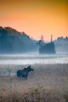 This moose was grazing in a beaver meadow just as the sun was starting to peak over the hills. Shot in Algonquin Park, Ontario Credit: Stephen Elms Photography Wapiti, Ontario Parks, Canadian Wildlife, Voyager Loin, Algonquin Park, Road Trip, Canoe Trip, Wildlife Art, Canada Travel