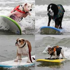 Surfing dog competition - Bing Images