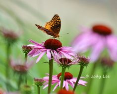 Purple Pink Cone Flower Butterfly Photograph by Putterpaws on Etsy