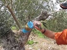 Injerto de olivo