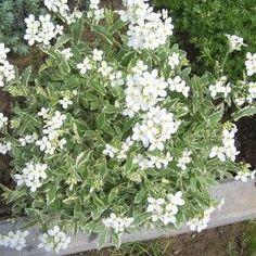 Arabis alpina ssp. caucasica Variegata