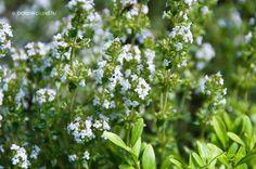 Kerti Kakukkfű (Thymus Vulgaris) gondozása, szaporítása Edible Plants, Herbs, Plants