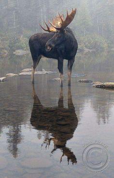 Big Moose.