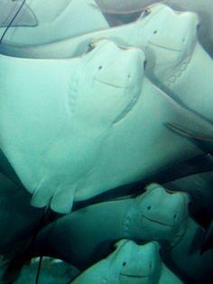 squid manta ray cuttlefish stingrays on pinterest. Black Bedroom Furniture Sets. Home Design Ideas