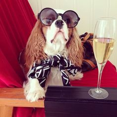 Winston the cavalier - Waiter. I'll have another glass of champagne please. In a really tall glass #cavalierkingcharlesspanielfunny
