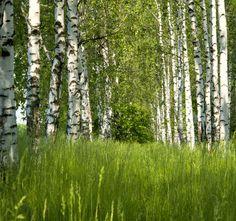 birch grove in the spring