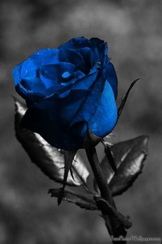 Blue on black and white rose