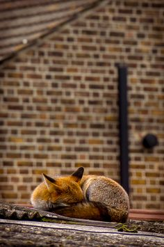 Sleeping Fox on the Roof