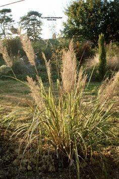 Graminées du jardin - Les Calamagrotis - Le jardin d'Entêoulet