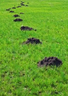 If you've been researching the topic of how to get rid of moles, then you've probably come across scores of reports, each touting this or that method as being the best solution to a mole problem. Garden Yard Ideas, Backyard Projects, Lawn And Garden, Outdoor Projects, Garden Projects, Garden Tips, Outdoor Ideas, Outdoor Landscaping, Outdoor Gardens
