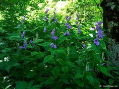 floare mov Centaur, Clematis, Indigo, Herbs, Plants, Herb, Flora, Indigo Dye, Plant