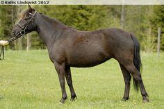 Gotland Pony - mare Ess