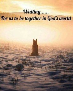 Duke wasn't a GSD. He was one of a hated breed, pit bull terrier. And I loved him beyond comprehension. In my heart, I believe that he is waiting...