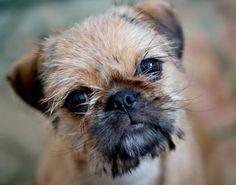 Pug and Shih Tzu Pug Zu - awwww just like my little Walter Pug Love, I Love Dogs, Cute Cartoon Animals, Cute Animals, Pug Mixed Breeds, Pug Zu, Baby Pug Dog, Pug Pictures, Animal Pictures