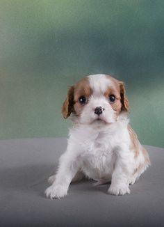 Cavalier King Charles Spaniel Breeder Puppies