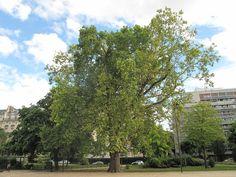 Platane de l'avenue Foch à Paris - planté en 1852 - 30 mètres de haut - classé arbre remarquable de France
