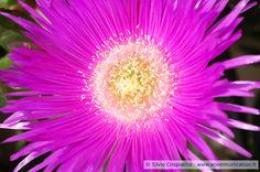 Fantastic Mesembryanthemum