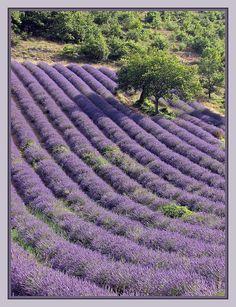 Lavender. Provence, France.