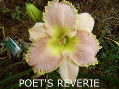 Poets Reverie (Salter, 2003) height 28in (71cm), bloom 5in (12.5cm), season M, Rebloom, Semi-Evergreen, Tetraploid, Fragrant, 35 buds, 4 branches, Pale pink with yellow gold bubbled tendriled edge above green throat. (Ed Brown × unknown)