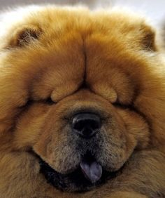 Chubby, a 5-year old chow chow at the 132nd Westminster Dog Show at Madison Square Garden by maryanne