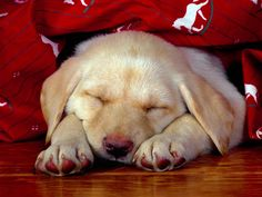 Sleeping Puppy Photo
