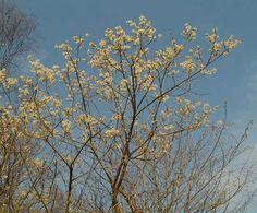NATURSKOLEBLADET.  Trädens blommor
