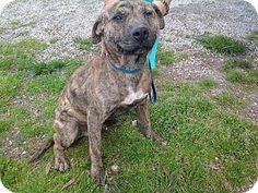 Media, PA - Plott Hound Mix. Meet Boyd, a dog for adoption. http://www.adoptapet.com/pet/10835107-media-pennsylvania-plott-hound-mix