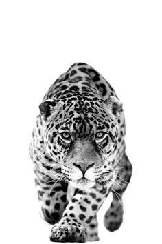 Giraffe Fine Art Photography - Wildlife Art - Modern Wall Art - Black and White Photo - Monochrome Wild Animal Leopard Tattoos, Animal Tattoos, Animals And Pets, Baby Animals, Cute Animals, Beautiful Creatures, Animals Beautiful, Regard Animal, Jaguar Tattoo