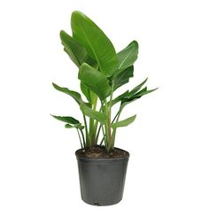 Costa Farms 10-in Kimberly Queen Fern in Plastic Pot (Kq10) in the House Plants department at Lowes.com