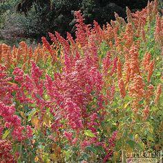Brightest Brilliant Rainbow Quinoa Organic