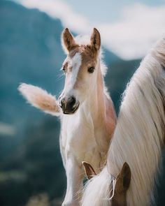 Haflinger Horses : Mare and Foal Cute Baby Horses, Cute Baby Animals, Most Beautiful Animals, Beautiful Horses, Zebras, Horse Movies, Haflinger Horse, Majestic Horse, All The Pretty Horses