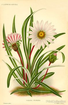 Gazania Pygmaea, LiIllustration Horticole