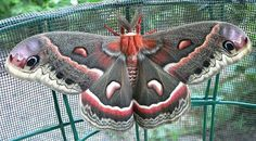 A Prairie Haven » Raising Giant Silkmoths – Cecropias, Polyphemus, Prometheas (and how to make a super cool and easy rearing cage!)
