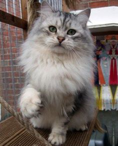Siberian forest cat, getting 1 of these very soon.