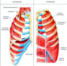 external intercostal muscles action | Respiration - Pilates Patio, Pilates studio in Ottawa, Ontario, Canada