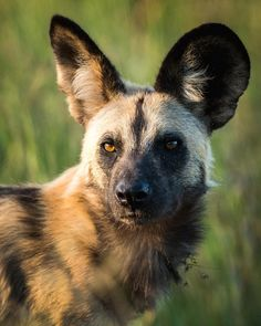"""African wild dog's Latin name means """"painted wolf"""". We have been fortunate enough to see them on all four of our visits to Africa. Brown Hyena, Striped Hyena, Maned Wolf, African Wild Dog, Wild Dogs, Dog Photography, Animal Kingdom, Pet Birds, Wilderness"""