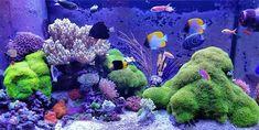 120 gallon reef tank with green star polyps