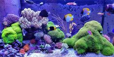 120 gallon reef tank with green star polyps