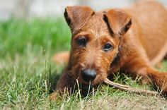 Irish Terrier Puppy Dog from Dog Breeds...only 1 pic??????