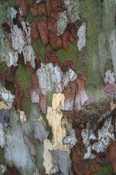 I'm not really a fan of the London Plane tree, Platanus x acerifolius, especially for residential gardens because they are horribly messy trees to garden around, but the bark can be fascinating. Patterns In Nature, Textures Patterns, Abstract Landscape, Landscape Design, London Plane Tree, Zbrush, Wood Bark, Tree Leaves, Tree Bark