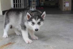 Siberian Husky Wolf Puppies | LovelyPuppy: Female Siberian Husky Puppy(Grey/White)