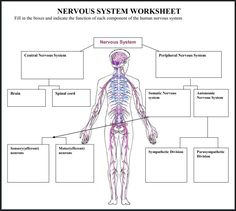 Central Nervous System Worksheet Coloring page | Nervous System ...