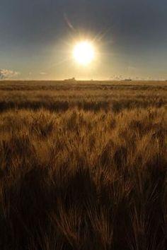 A golden sun rises on a golden wheat field on Sturgeon Road near Winnipeg Friday morning. (August, 2013)