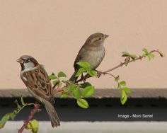House Sparrows - male and female