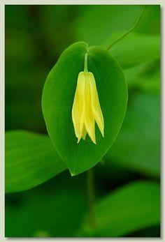 Perfoliate Bellwort - Uvullaria perforata - Perfoliate Bellwort - Uvularia peroliata