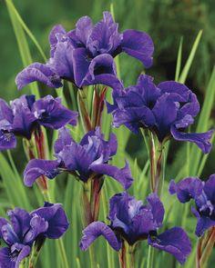 ~~Strawberry Fair Siberian Iris~~