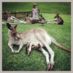 D9 #australia #currumbin #kangaroo #queensland #goldcoast #currumbinwildlifesanctuary #babykangaroo #sweet by krzysztof_majewski http://ift.tt/1X9mXhV