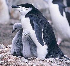 Los pingüinos (familia Spheniscidae, orden Sphenisciformes) son un grupo de aves marinas, no voladoras, que se distribuyen únicamente en el ...