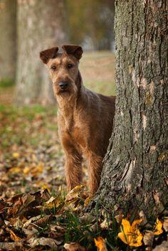 Die terriertypischen Eigenschaften kennzeichen auch den Irish Terrier: Mut und manchmal auch Selbstüberschätzung.