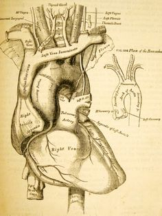 Anatomy Descriptive and Surgical by Henry Gray Medical Drawings, Medical Art, Greys Anatomy Book, Henry Gray, Anatomy Tattoo, Heart Anatomy, Nursing School Notes, Medical Pictures, Human Body Anatomy